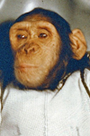 Astrochimp Ham - First Primate in Space